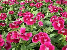 Dianthus -   Growing conditions: Full sun and well-drained soil