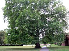 Lime Tree in the park in Marlow, UK 2009, photo by K Cheek