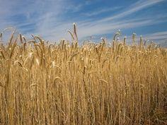 Growing grain—harvesting, threshing, winnowing, and storing