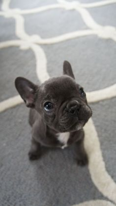 """A collection of French and American Bulldog puppies for Animals and Pets lovers. In this post, we share American Bulldog Puppies Will Make Your Day"""". French Bulldog Blue, French Bulldog Puppies, Frenchie Puppies, Mini French Bulldogs, American Bulldog Puppies, Blue Frenchie, American Bulldogs, Bulldog Pics, English Bulldogs"""