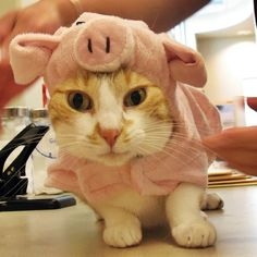 Molly the Cat Dressed Up in Her Pig Costume