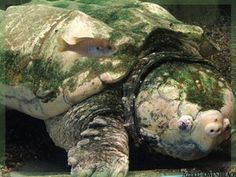 Denver zoo - Alligator snapping turtle by *AzureHowlShilach on deviantART Kinds Of Turtles, Alligator Snapping Turtle, Denver Zoo, Russian Tortoise, Tortoises, All Dogs, Reptiles, Old Things, Creatures