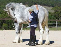 "LUSCOMBE NODRAM aka ""Noddy"" is a grey shire living in Australia, he was the Worlds Tallest Horse on record in March 2010. He is still the tallest living horse in Australia! Standing 20.2 hands at the withers; or 6'8"" tall!"