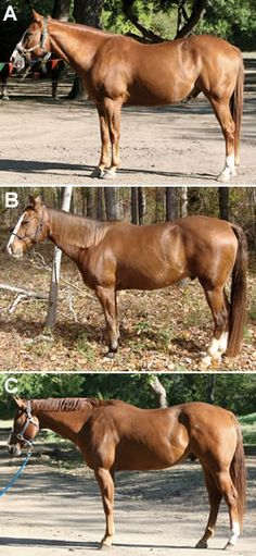 Conformation Clinic: Quarter-type Geldings