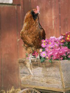 mi lascio andare - Domestic Chicken, Americana Breed, USA   By: Lynn M Stone