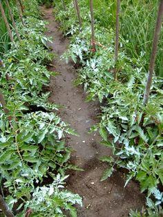 Calendarul lucrărilor în grădina mea   Elisa-gradina mea de vis Vegetables, Nature, Mai, Gardening, Permaculture, Plant, Anatomy, Naturaleza, Lawn And Garden