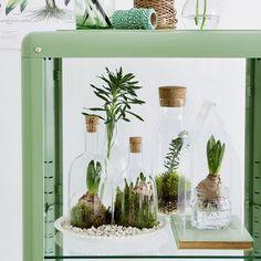 Des plantations dans des bouteilles en verre