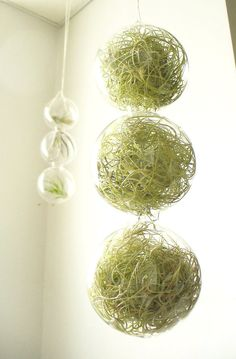spring green, 3 globes filled with airplants    ETSY: http://www.etsy.com/listing/88574764/spring-green-3-globes-filled-with?ref=af_new_item