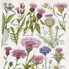 Illustration thistles