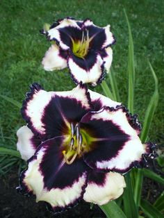 Daylily 'William Colby Jones'