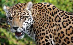 Leguar ie Father Leopard and Mother Jaguar