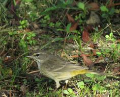 Bird Photos, Birding Sites, Bird Information: NONBREEDING PALM WARBLER, EAGLE LAKES COMMUNITY PA...