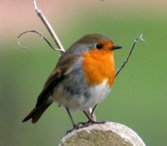 The UK's favourite bird - with its bright red breast it is familar throughout the year and especially at Christmas! Males and females look identical, and young birds have no red breast and are spotted with golden brown. Robins sing nearly all year round and despite their cute appearance, they are aggressively territorial and are quick to drive away intruders. They will sing at night next to street lights.