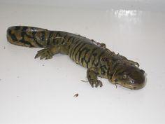 Salamander - Tiger Amphibians, Animals, Animales, Animaux, Animais, Animal