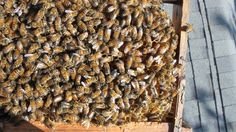 How can you make your #honeybees build comb, store #honey, and raise brood? http://honeybeesuite.com/how-can-you-make-your-bees/