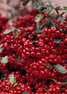 Firethorn - shrub, can be 3-15 ft tall and 6-15 ft wide! Really pretty against a wall with all those orange red berries