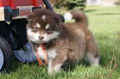 adorable fat animals | fat, fuzzy, ADORABLE puppy Puppies And Kitties, Cute Puppies, Dogs, Fat Animals, Puppy Pictures, New Puppy, Husky, Kitty, Dog Photos