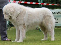 Google-Ergebnis für http://www.maremma-sheepdogs.co.uk/news/show_photos/IMG_0703.JPG