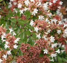 Abelia chinensis 'Rose Creek' complete care instructions