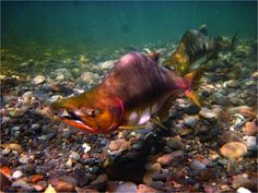 Climate Change Driving Salmon Evolution