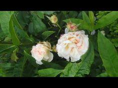 "Garden in Holland [De Waddentuun"" Holland, Rose, Garden, Flowers, Plants, The Nederlands, Pink, Garten, Florals"