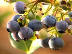 Tips on Growing Great Blueberries