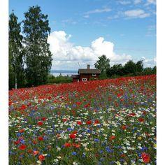 Blomsterglädje. Massa, massa blomsterglädje! #Tällberg #vallmo #blåklint #Siljan #lakeSiljan #Dalecarlia #Dalarna #enjoysweden #Leksand #Leksandskommun #enjoydalarna #visitsweden #instaflower #instadalarna #Körsbärsgården #79392