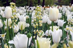 tulips 'Spring Green', 'Ivory Floradale' and 'White Triumphator' with Fritillaria persica 'Ivory Bells' Bulbous Plants, Garden Bulbs, White Springs, Spring Bulbs, White Gardens, Spring Green, Green Leaves, Green And Grey, Tulips