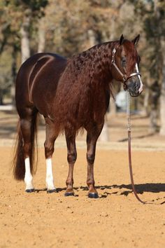 """""""Custom Cash Advance"""" Great Stallion Perfect Conformation, Sire's Reining, Cutting & Working Cow Horse's. On top of that He's Gorgeous.!!!"""