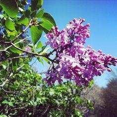 Sky, Lilacs.