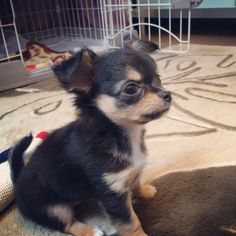 New face,chihuahua