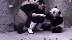 VIDEO: An infinitely patient zookeeper rebuffs playful advances from a pair of pandas to ensure they get their medicine.