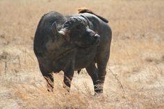 Cape Buffalo-personal photo- Marie-Lys. Ngorongoro Crater, Tanzania.