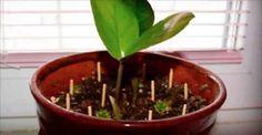 Coloque alguns palitos de fósforo em torno de sua planta favorita - você não vai acreditar no que vai acontecer! | Cura pela Natureza