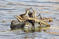 Funny pictures about 25 Of The Best Parenting Moments In The Animal Kingdom. Oh, and cool pics about 25 Of The Best Parenting Moments In The Animal Kingdom. Also, 25 Of The Best Parenting Moments In The Animal Kingdom photos. Wild Life, Reptiles And Amphibians, Mammals, Animal Kingdom, Crocodile, Baby Animals, Cute Animals, Wild Animals, Photo Animaliere