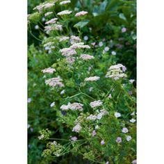 I have just purchased Pimpinella major 'Rosea' from Sarah Raven - http://www.sarahraven.com/flowers/plants/perennials-plants/pimpinella_major_rosea.htm