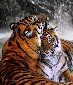 Tiger Romance by the Waterfall - Snuggling, Licking… Cubs Maybe? by JohnBrody.com on Flickr.