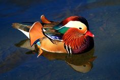 The scientific name of Mandarin duck is Aix galericulata and sometimes it is also confused with South American wood duck. This medium sized perching duck belongs to the family Anatidae and falls under the order Anseriformes. CLICK the image to know about this magnificent waterfowl in detail !