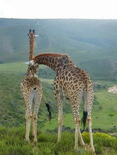 My favorites, Botlierskop. Giraffe, Elephant, Visit South Africa, Hiking Routes, Solo Travel Tips, Road Trip Adventure, Midnight Blue, Places To See, Followers