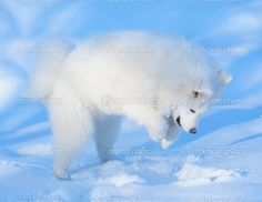 samoyed jumping in snow
