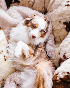 More About The Smart Australian Shepherd Pup Size Cute Baby Dogs, Cute Dogs And Puppies, Pet Dogs, Dog Cat, Doggies, Puppies Tips, Labrador Puppies, Cutest Dogs, Retriever Puppies