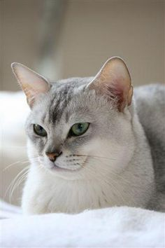 The Burmilla This cat breed is the result of a cross