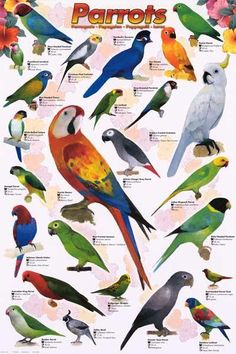 An awesome poster of a wide variety of beautiful Parrots (Psittaciformes)! Perfect for Pet Stores, Classrooms, and Parrot Heads. Fully licensed. Ships fast. 24x