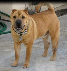 Hercules #2 is a 7 year old red fawn brush coat male shar pei.  He is great with people and kids, but needs to be an only dog.  He walks well on a leash and is used to walks.   He has been sleeping on a dog bed and knows he is not supposed to be on the furniture.    Herc is neutered, up to date on vaccines and is microchipped.   He just needs a new home for the new year!!!    Email: info@peipeople.com (2/28/13)