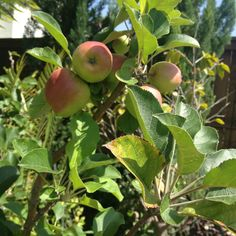 wiki how to grow nectarines from pit