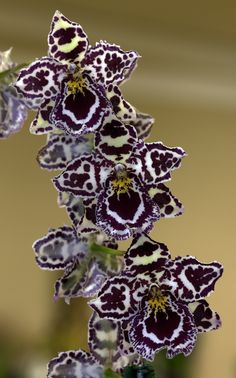 Odontocidium Margaret Holm 'Alpine' - Flickr - Photo Sharing!