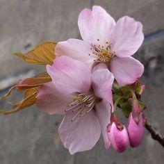 choichirow | Cherry blossom/sakura | flowers + blossoms + pink green brown grey