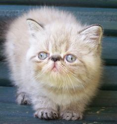 cross eyed kittens - Google Search