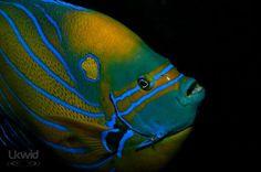electrifying blueeee.... -blue ring angelfish (www.facebook.com/sipadanresort)
