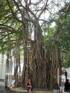 Banyan tree in the American University of Beirut